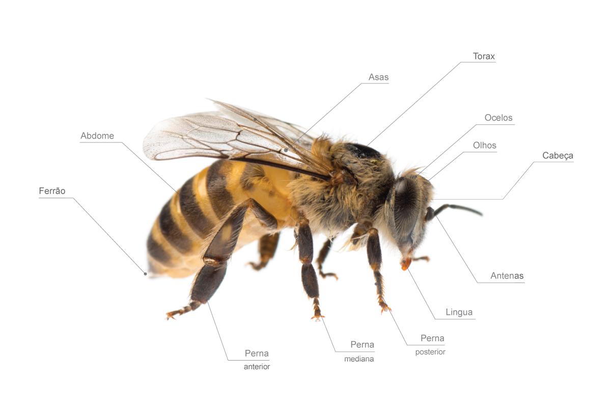 anatomia-das-abelhas-ciencia-biologia-mel