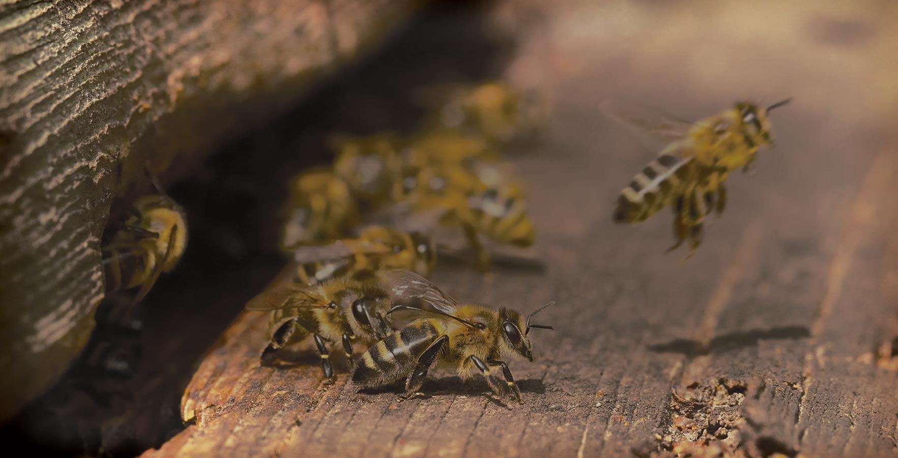 Site do MEL: Wiki-Mel a enciclopédia das abelhas, alicultura, medicina natural e loja!