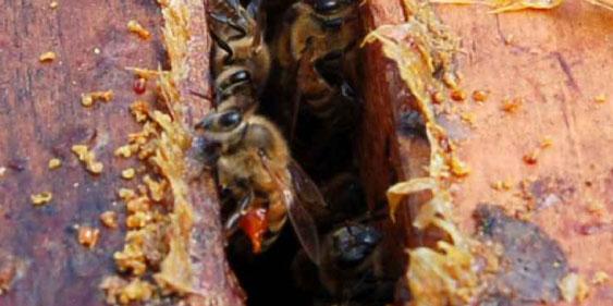 Própolis: Técnicas de produção no apiário