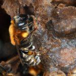 abelha jandaira