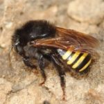 abelhas mandassaia mandacaia
